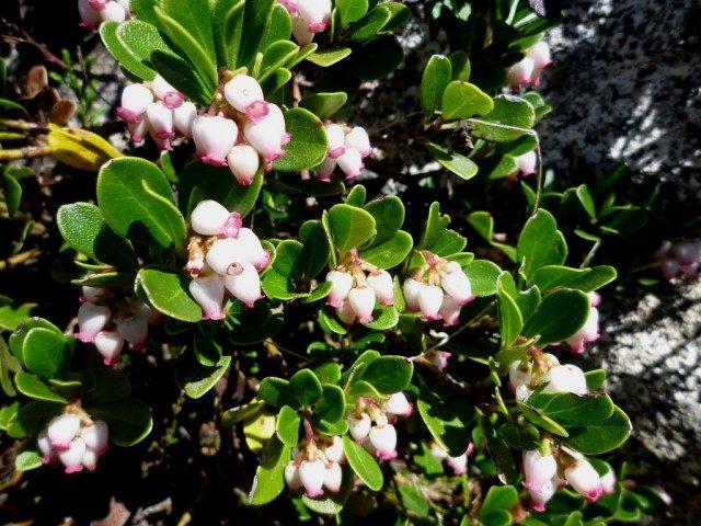 Толокнянка обыкновенная в период цветения
