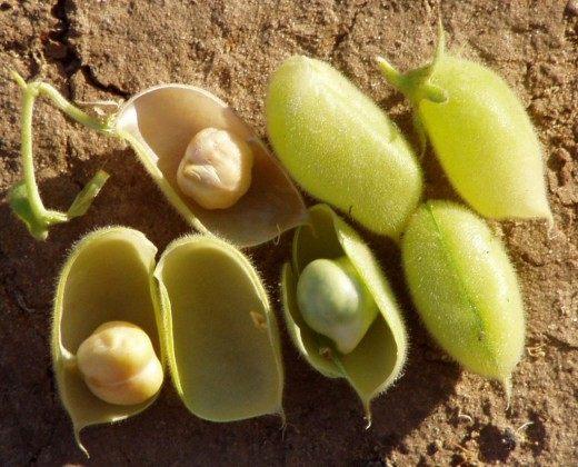 Плоды нута и семена