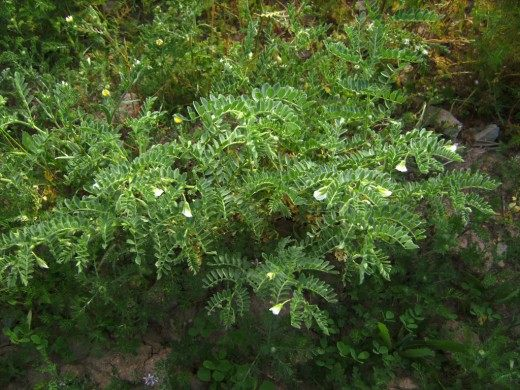 Растение Нут