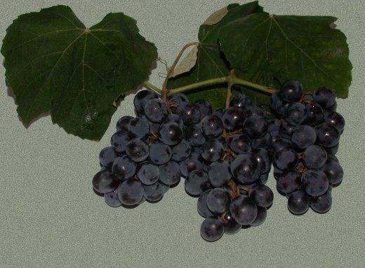 Виноград сорт Изабелла