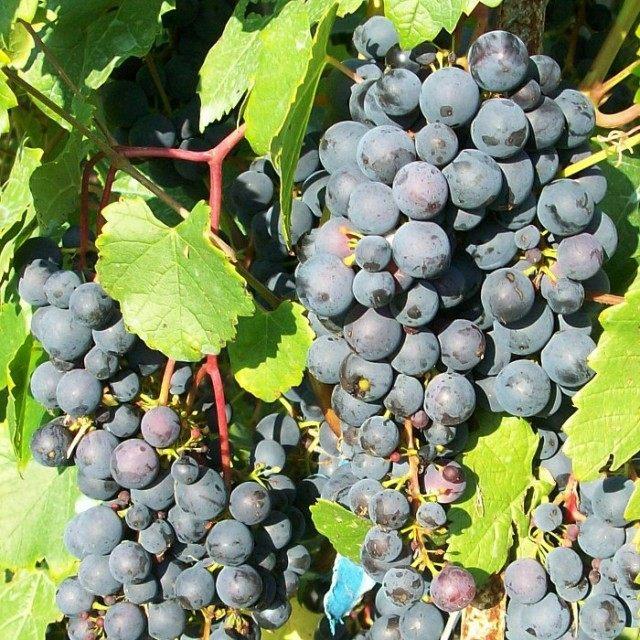 Виноград сорт Мариновский