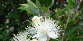 Цветок Мирта обыкновенного