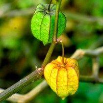 Завязывание плодов
