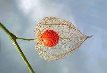Физалис – вкусная ягода из «китайского фонарика»
