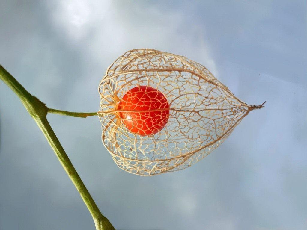 Сорт вишни Жуковская фото отзывы описание характеристики
