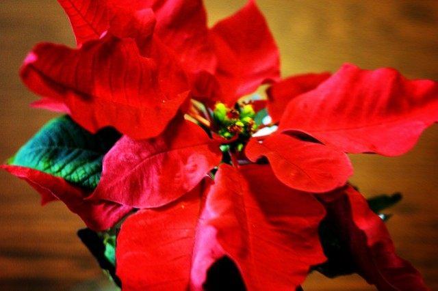 Рождественская звезда, или Пуансеттия