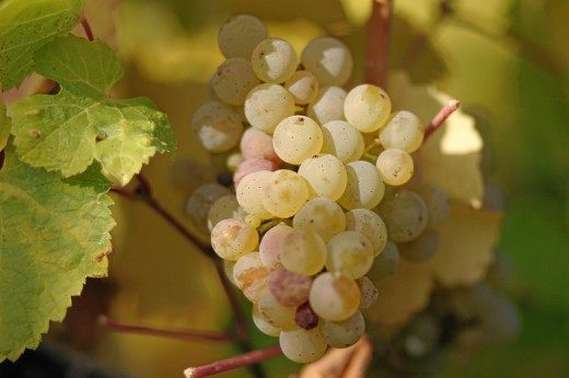 Виноград сорт Рислинг