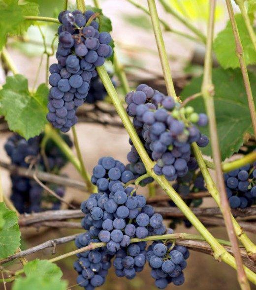 Виноград сорт Альфа