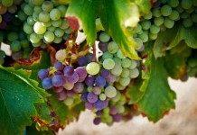 О морозоустойчивом винограде