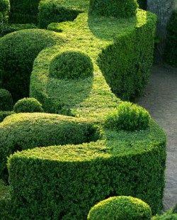 Живая изгородь из самшита