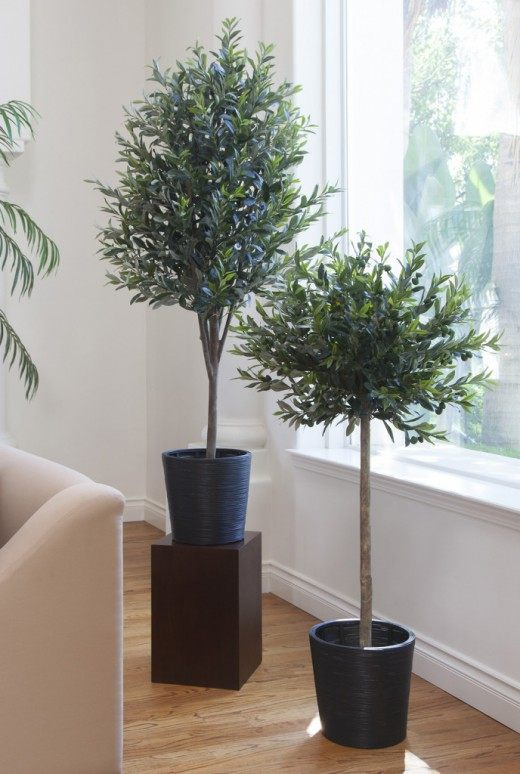 Оливковые деревья в комнатных условиях