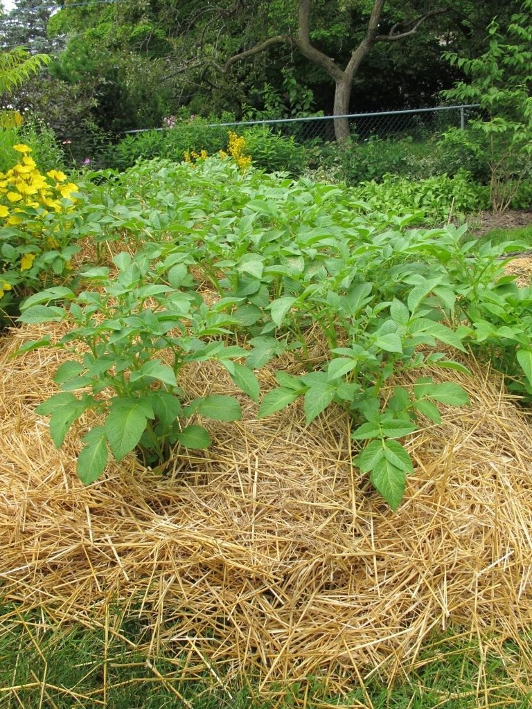Выращивание картофеля под сеном и соломой 800