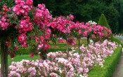 Партнеры для роз в миксбордерах