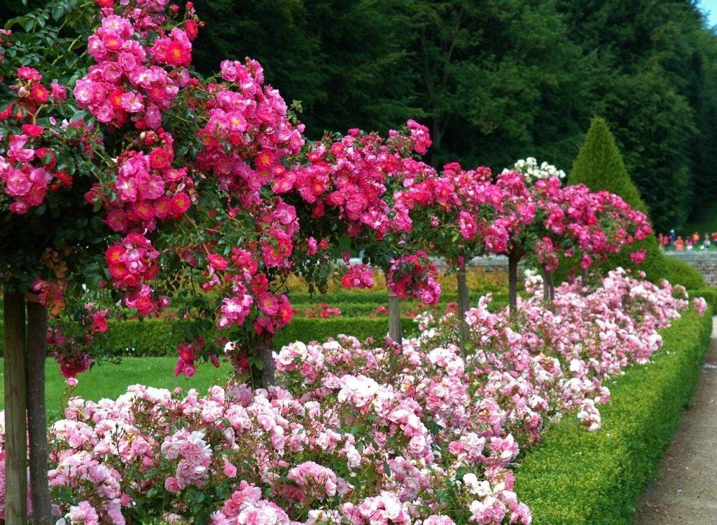 цветник из роз на даче