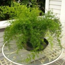 Комнатное растение Аспарагус (Asparagus)