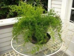 Комнатное растение Asparagus