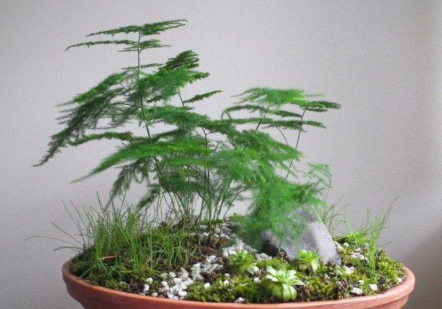 Аспарагус перистый (Asparagus setaceus)