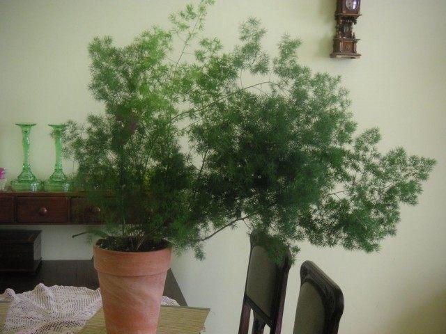 Аспарагус Зонтичный (Asparagus umbrellatus)