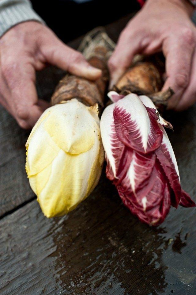 Витлуф, или Бельгийский Эндивий, или Цикорий салатный (Cichorium intybus L.)