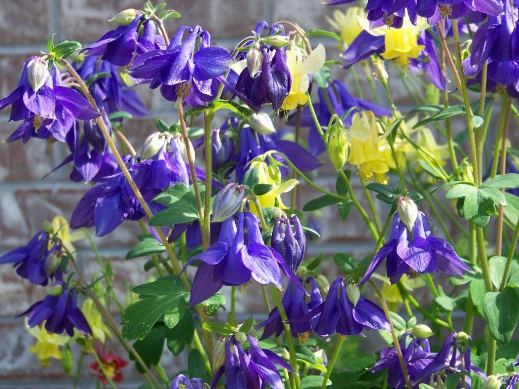 Лилейники в дизайне сада сорта растения и их описание