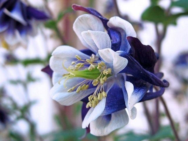 Цветок аквилегии