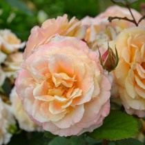 Роза, сорт «Fiona Gelin» селекции Guillot