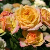 Роза, сорт «Little Sunset» селекции Kordes