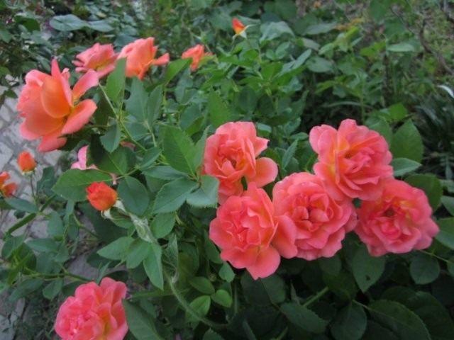 Роза, сорт «Orange Dаwn» селекции Warner