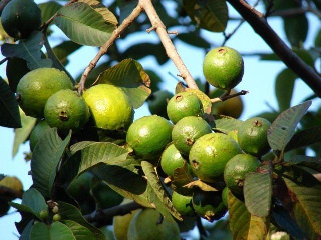Гуайява, фрукты