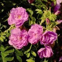 Роза, сорт «Purple Rоadrunner» селекции Kordes