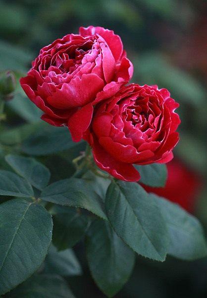 Rosa-Baron-Girod-de-lAin