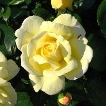 Роза, сорт «Sunstar» селекции Kordes