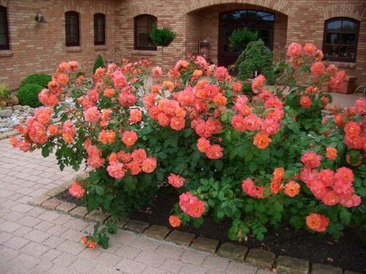 Роза, сорт «Westerland» селекции Kordes