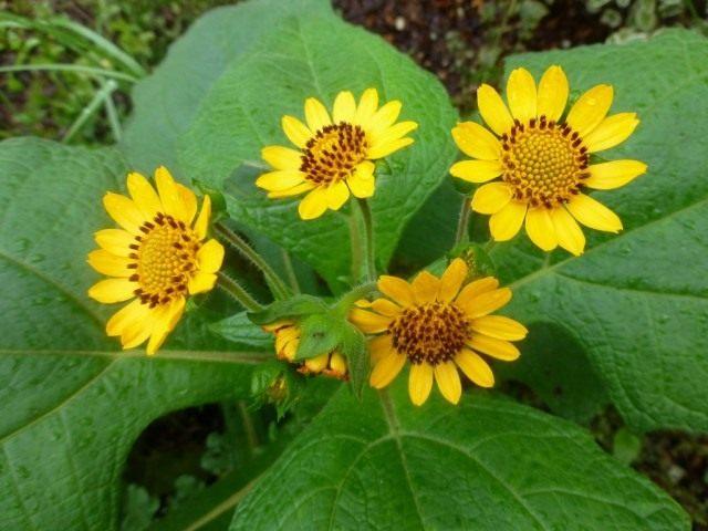 Цветы Якона