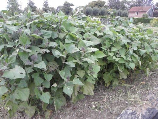 Якон, вид на выращиваемые растения