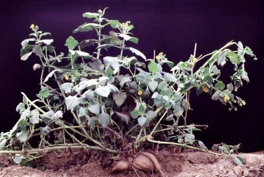 Якон, общий вид растения