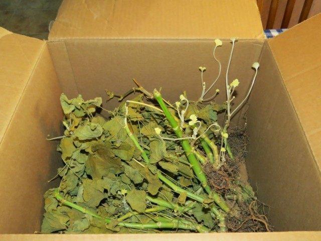 Кусты герани хранились в коробке и уже дали новые побеги