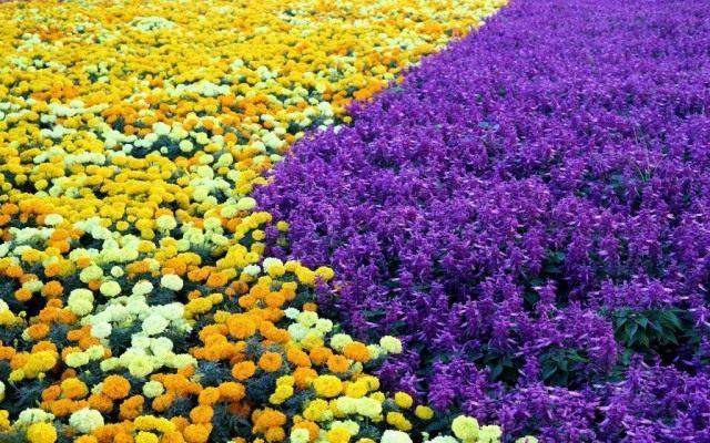 Фиолетовоцветковые сальвии, высаженные в цветник с бархатцами