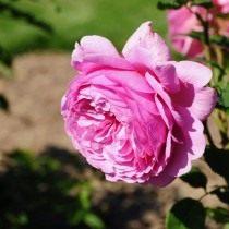 Роза, сорт «Princess Alexandra of Kent» селекции Austin