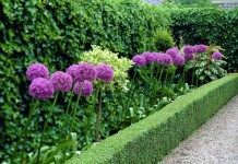 Лук исполинский, гигантский в дизайне сада