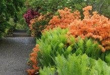 Самые эффектные садовые папоротники