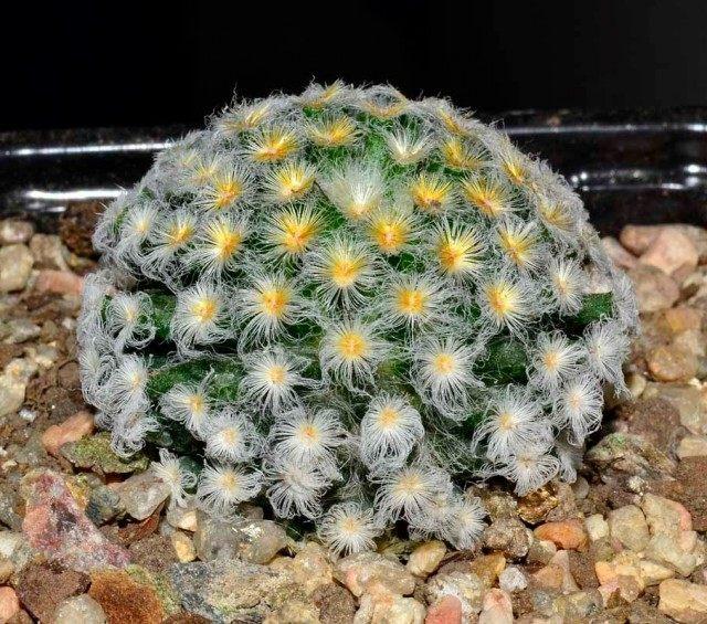 Маммиллярия Шиде (Mammillaria schiedeana)