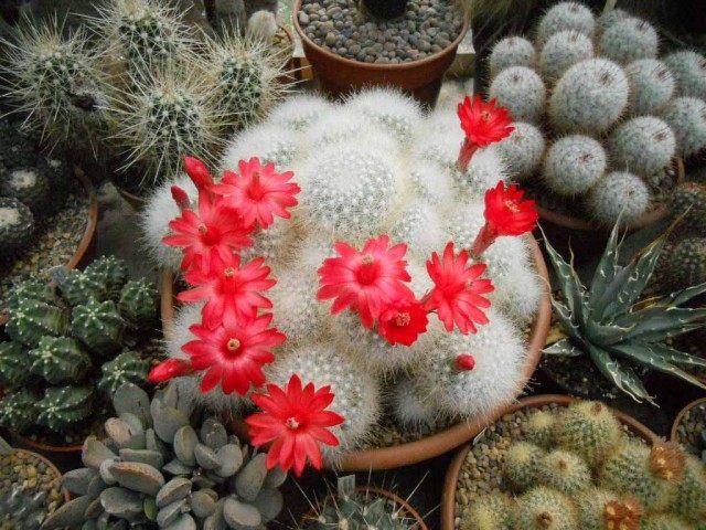 Маммиллярия сенилис (старческая) (Mammillaria senilis)