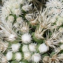Маммиллярия изящная (Mammillaria gracilis)