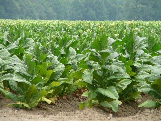 Табак обыкновенный, или Табак виргинский