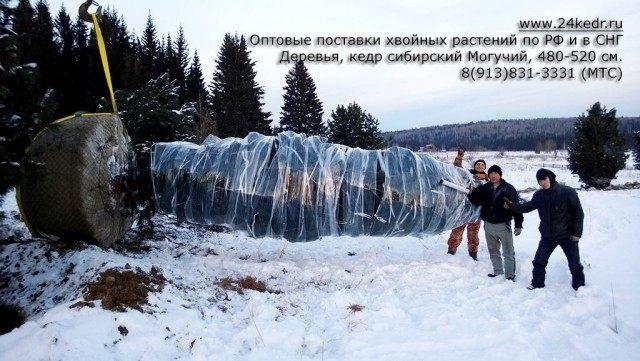 Упаковка Кедра сибирского для транспортировки
