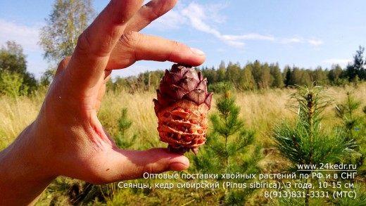 Шишка с орешками Кедра сибирского