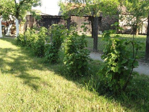 Кусты малино-ежевики Тэйберри (Tayberry)