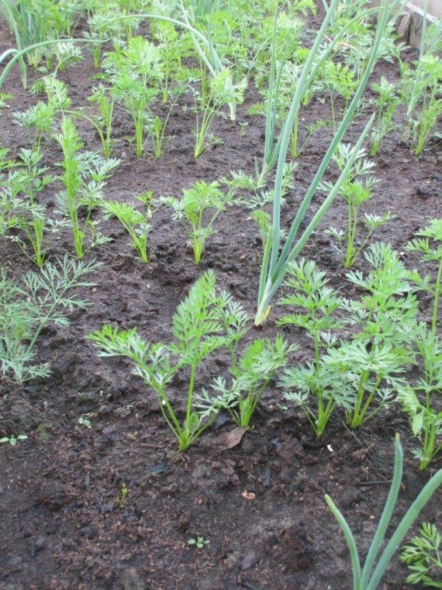 Прореженные всходы. Совместные посадки морковки и лука.