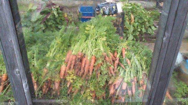 Собранная морковь, убранная от дождя